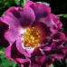 купить Саженцы Роз Принцесса Сибилла де Люксембург фото питомник