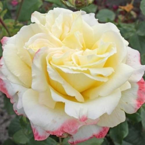 купить Саженцы Роз Athena фото питомник