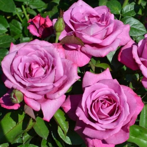 купить Саженцы Роз Blue Wonder фото питомник