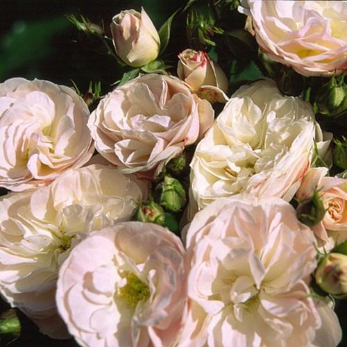 Роза букет парфе фото и описание