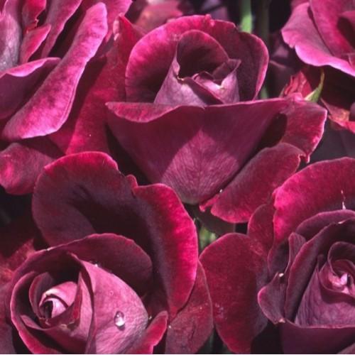 купити Саженцы Роз Бургундия Айс фото розплідник