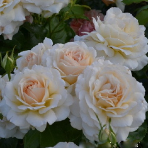 купить Саженцы Роз Chandos Beauty фото питомник