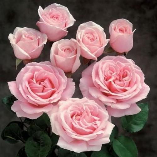 купить Саженцы Роз Frederic Mistral фото питомник