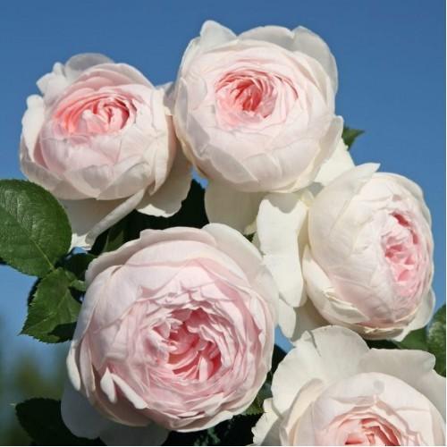 Купить роза флорибунда герцогиня кристиана