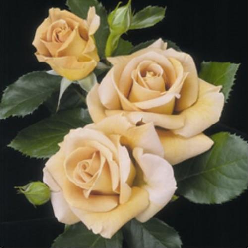 купить Саженцы Роз Honey Dijon фото питомник