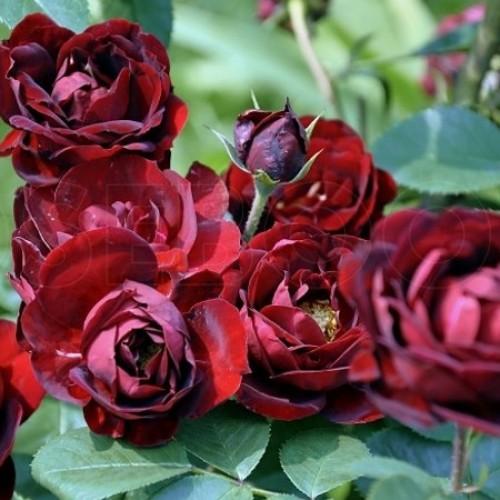купить Саженцы Роз Malicorne фото питомник