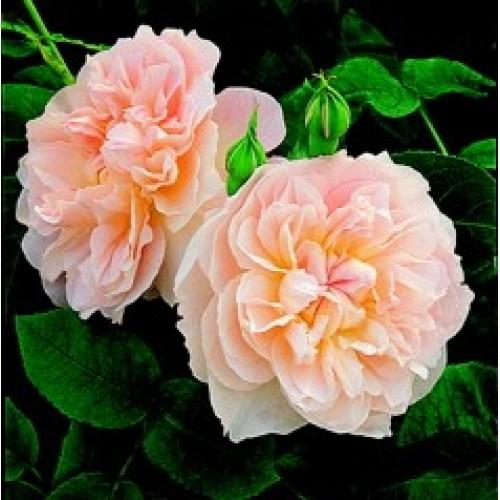 купить Саженцы Роз Мария Магдалина фото питомник