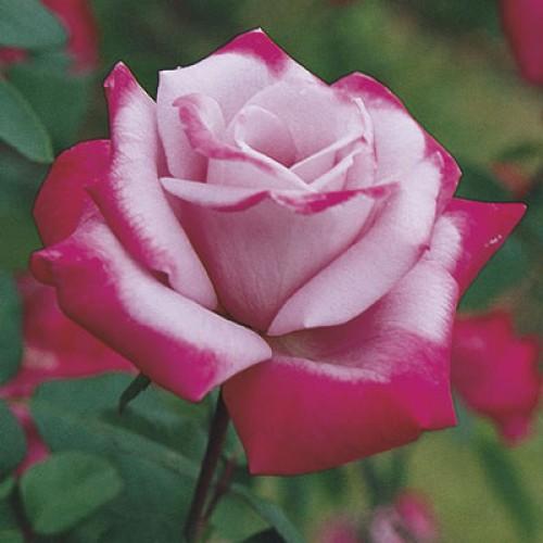 купить Саженцы Роз Paradise фото питомник