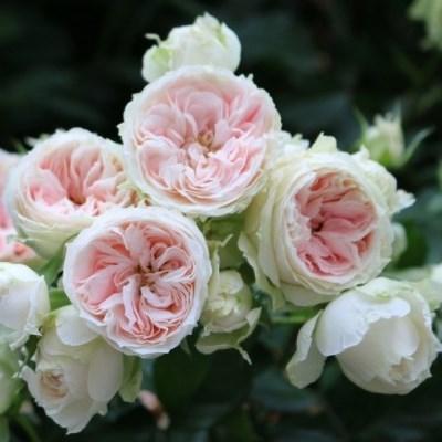 Pashmina /Pompon Flower Circus