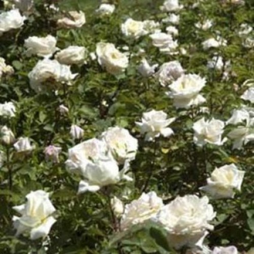 роза меньян пьер ардити фото как всегда субъективный