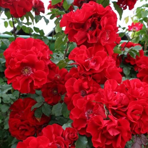 купить Саженцы Роз Roter Korsar фото питомник