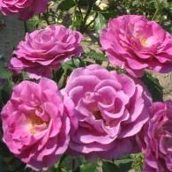 Violette Parfume