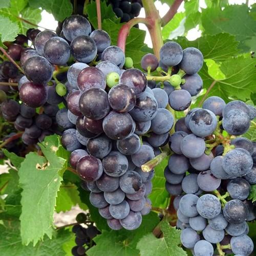 купить Саженцы Винограда Виноград винный Голубок фото питомник