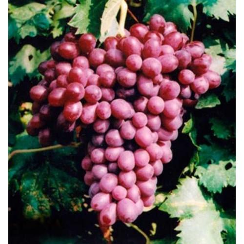 купить Саженцы Винограда Ливия фото питомник