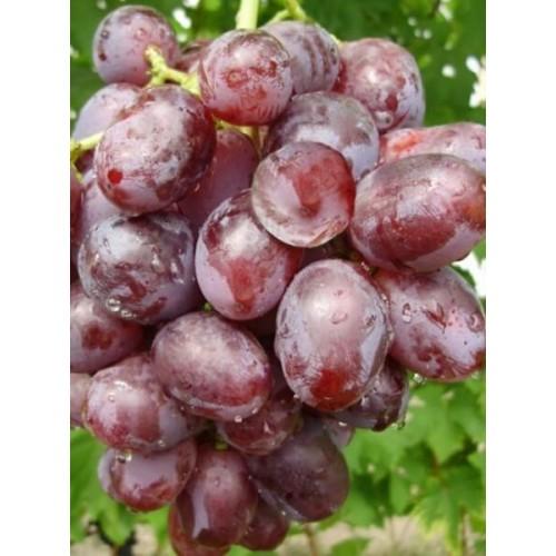 купить Саженцы Винограда НиЗина фото питомник