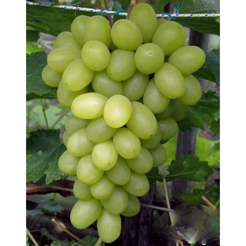 купить Саженцы Винограда Первозванный фото питомник