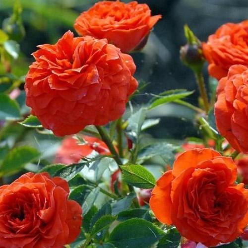 купить Саженцы Роз Orange Babyflor фото питомник