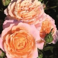Peach Clementine
