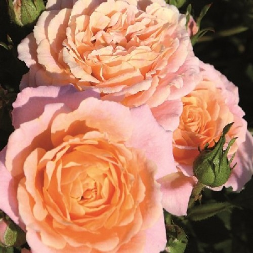 купить Саженцы Роз Peach Clementine фото питомник
