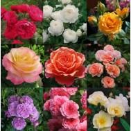 Саженцы роз (пересорт)