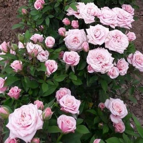 купить Саженцы Роз Pink Beauty фото питомник
