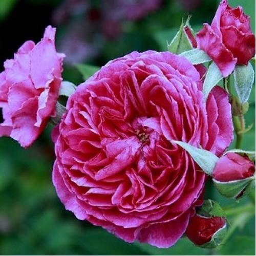 купить Саженцы Роз Пурпур Лодж фото питомник