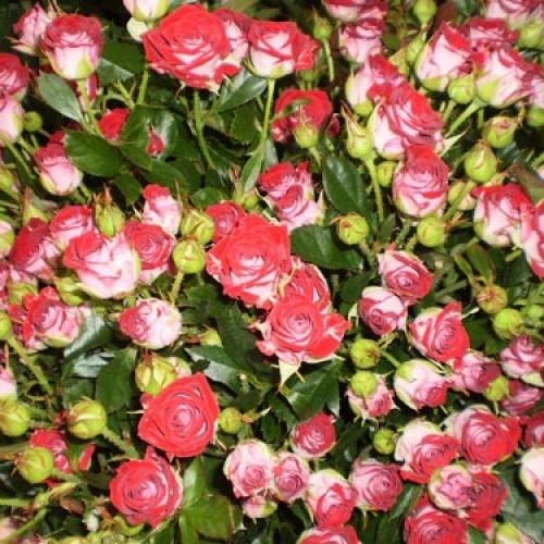 купить Саженцы Роз Ruby Star фото питомник