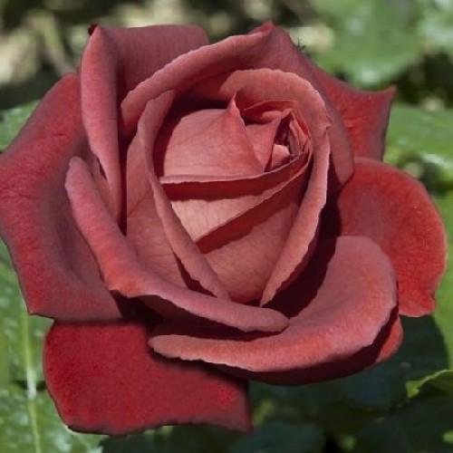 роза терракота описание и фото