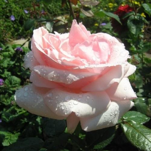 купить Саженцы Роз Aphrodite фото питомник