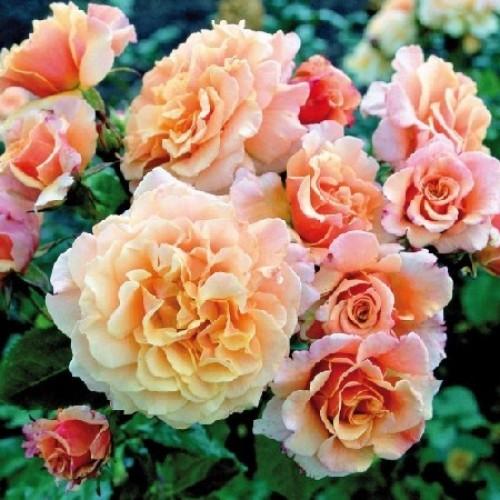 купить Саженцы Роз Caramella фото питомник