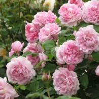 Коттедж роуз