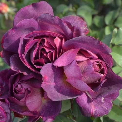 купить Саженцы Роз Diablesse de Mers фото питомник