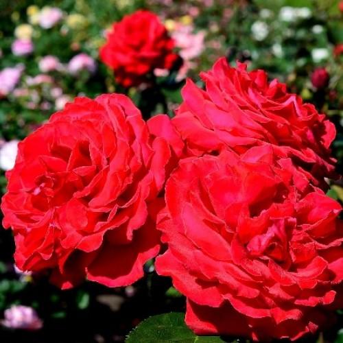 купить Саженцы Роз Grandessa фото питомник