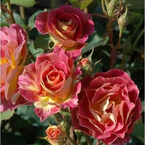 купить Саженцы Роз Prieure de St Cosme фото питомник