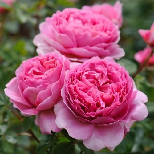 купить Саженцы Роз Princess Alexandra of Kent фото питомник