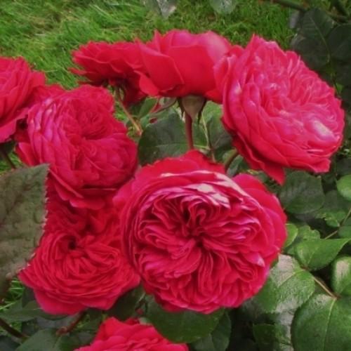 купить Саженцы Роз Red Leonardo Da Vinci фото питомник