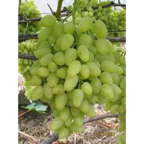 купить Саженцы Винограда Долгожданный фото питомник