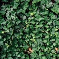 Плющ садовий вічнозелений