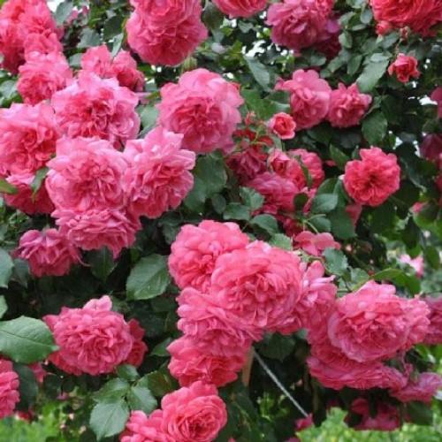 купить Саженцы Роз Rosarium Uetersen фото питомник
