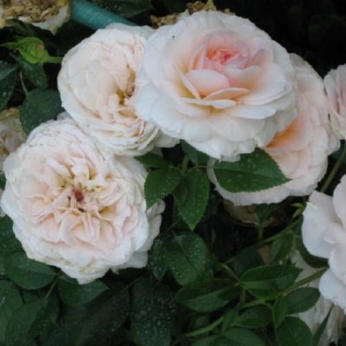 купить Саженцы Роз Schloss Eutin фото питомник