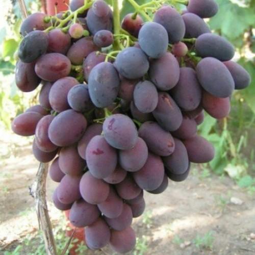 купить Саженцы Винограда Нинель (Низина – 2) фото питомник