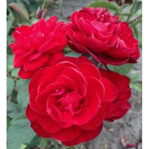 купить Саженцы Роз Cordula фото питомник