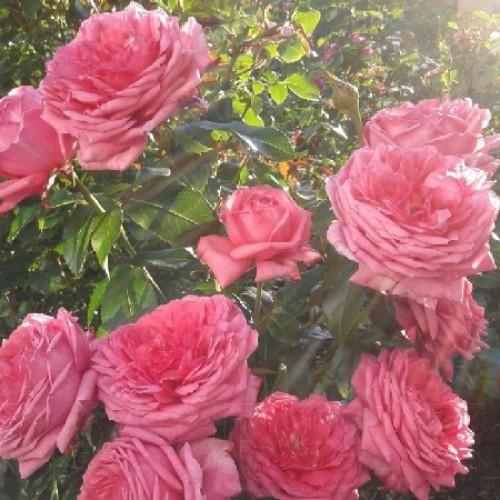 купить Саженцы Роз La Rose de Molinard фото питомник