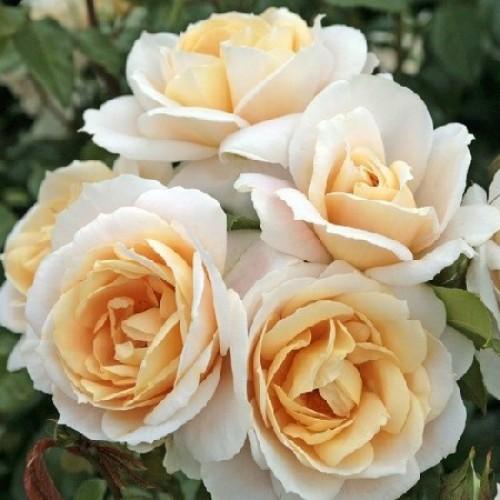 купить Саженцы Роз Lions Rose фото питомник