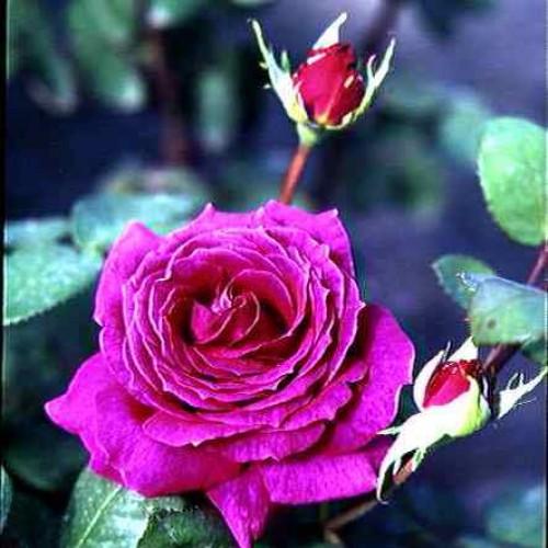 купить Саженцы Роз Big Purple фото питомник