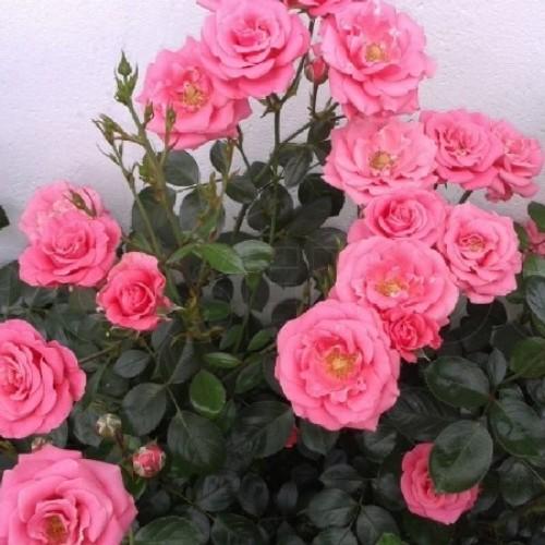 купить Саженцы Роз Bella Rosa фото питомник