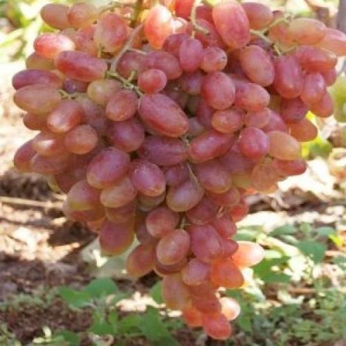 купить Саженцы Винограда Преображение фото питомник