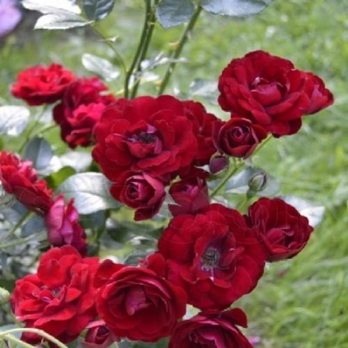 купить Саженцы Роз Coeurs de Vendee фото питомник