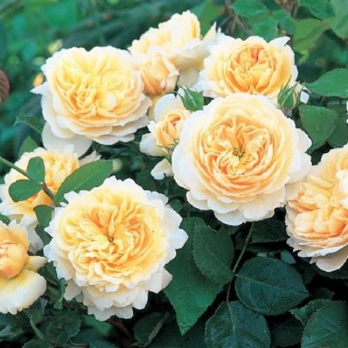 купить Саженцы Роз Crocus Rose фото питомник