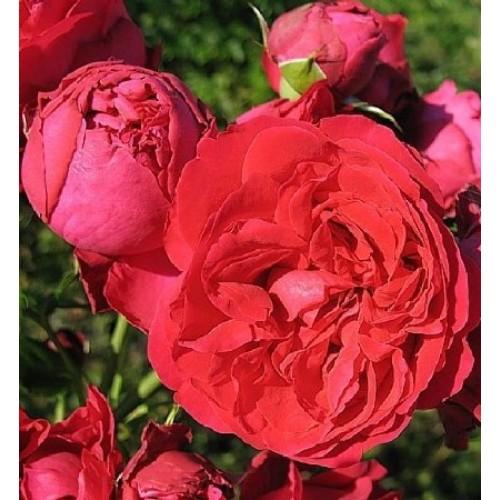 купити Саженцы Роз Эрик Таберли / Красная Райская Роза фото розплідник